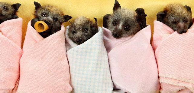 Les chauves souris repr sentent 20 de tous les mammif res - Chauve souri vampire ...