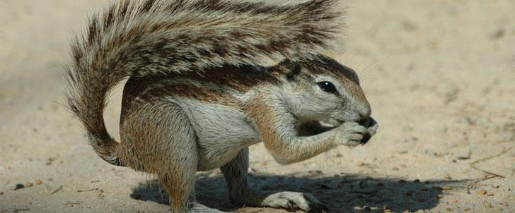 Les écureuils se masturbent pour éviter les infections sexuellement transmissibles !