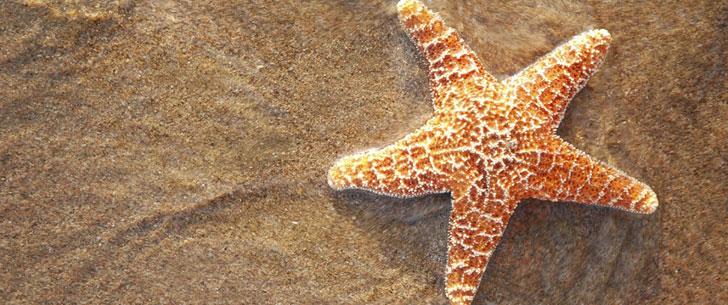 L'étoile de mer n'a ni cerveau ni sang !