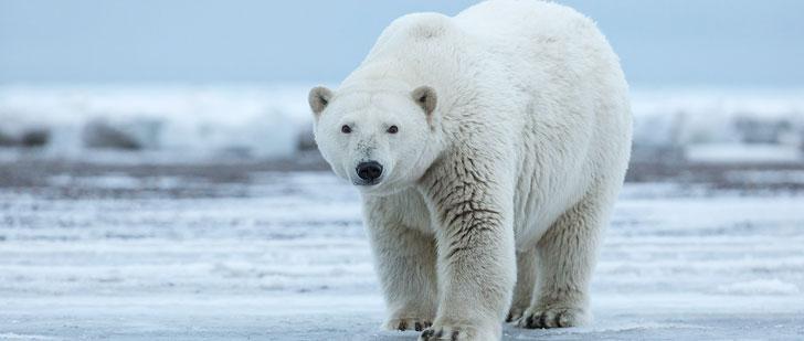 Extrêmement Vous pouvez mourir si vous mangez du foie d'ours polaire ! - Le  LB08