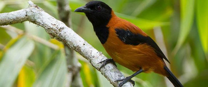 Il existe des oiseaux venimeux !