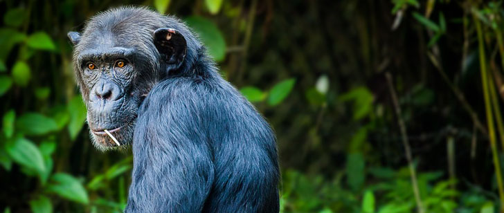 Le saviez-vous?Les chimpanzés peuvent jouer à pierre-feuille-ciseaux ! Chimpanze