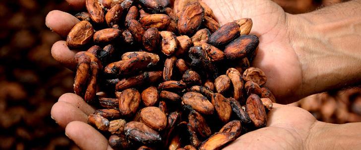 Les plantes de cacao devraient disparaître d'ici 2050 !