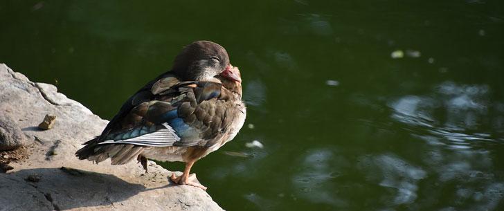 Le saviez-vous ? Les oiseaux chantent dans leur sommeil ! Oiseau