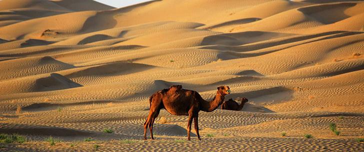 Aux Emirats Arabes Unis, Google a utilisé des chameaux pour faire sa Street View dans le désert !