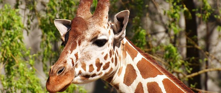 Le saviez-vous ? La girafe ne peut pas bâiller ! Girafe