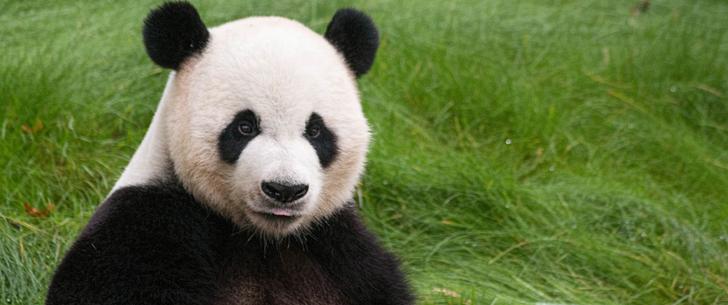 Le panda peut déféquer 40 fois par jour !