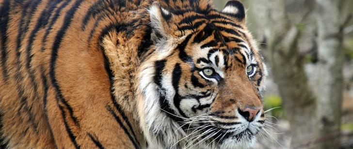 Le saviez-vous ? Il n'y a pas de tigres sauvages en Afrique ! Tigre