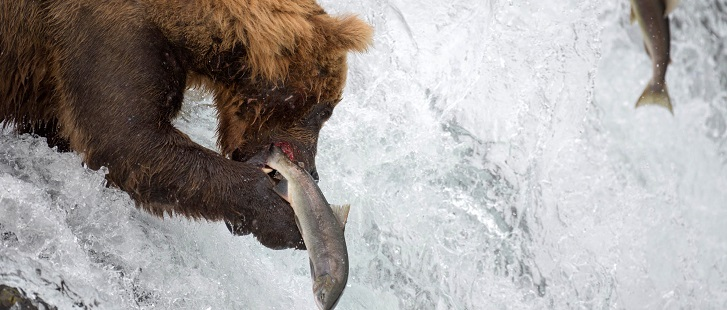 Un grizzli mange environ 20 000 calories par jour !