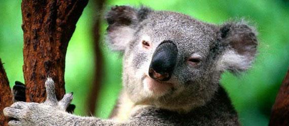 Le koala dort 22 heures par jour