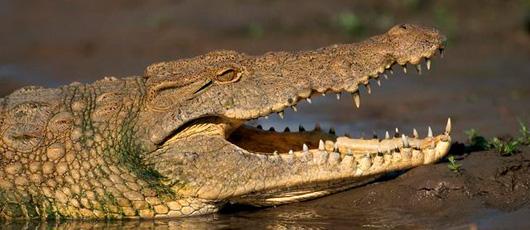 Le crocodile a la morsure la plus puissante de la planète