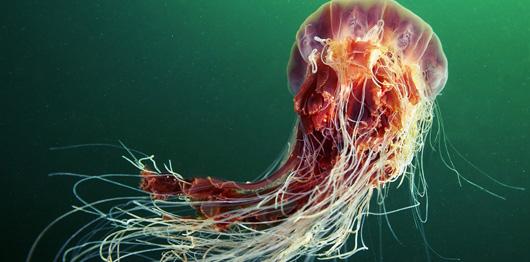 Une méduse avec des tentacules de 37 mètres de long a été découverte en 1870