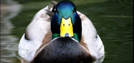 L'anatidaephobie est la peur que quelque part il y a un canard qui vous regarde