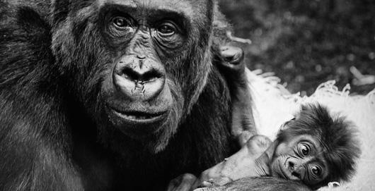 """Le mot """"gorille"""" vient du mot grec """"Gorillai"""" qui signifie une tribu de femmes poilues"""