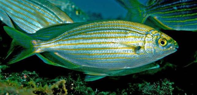 Il existe un poisson toxique et hallucinogène !