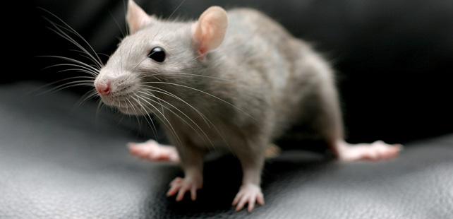 Les rats rient quand on les chatouille et ils adorent ça.