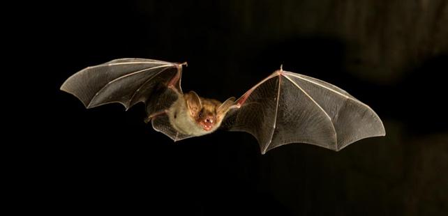 Le saviez-vous?De tous les mammifères, les chauves-souris ont le taux le plus élevé d'homosexualité ! Chauve-souris