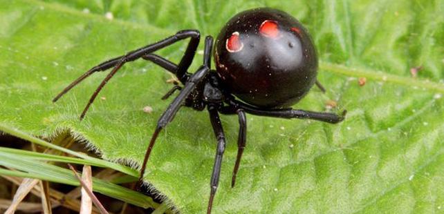 Le saviez-vous ? Il existe une araignée qui mange son partenaire après l'accouplement ! Veuve-noire