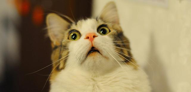 """Le saviez-vous ? """"Creme Puff"""" est le nom du plus vieux chat du monde, il est mort à l'âge de 38 ans ! Chat-vieux"""