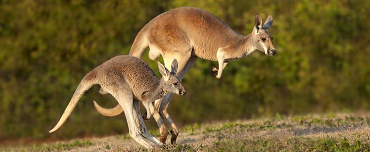 Un nouveau-né kangourou est de la taille d'un haricot !