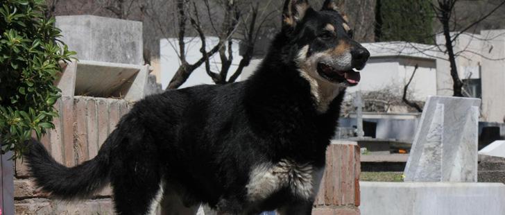 En Argentine, un chien dort sur la tombe de son propriétaire depuis 8 ans !