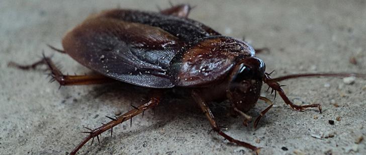 Les cafards peuvent vivre plusieurs semaines sans leur tête !