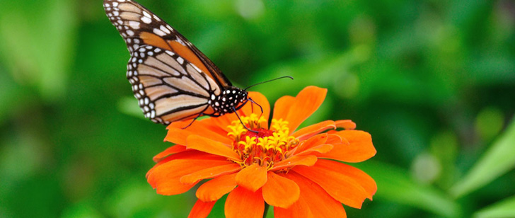 Les papillons goûtent avec leurs pieds !