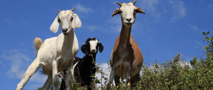 Au lieu d'utiliser des tondeuses à gazon, Google a loué 200 chèvres pour couper l'herbe autour de leur siège !