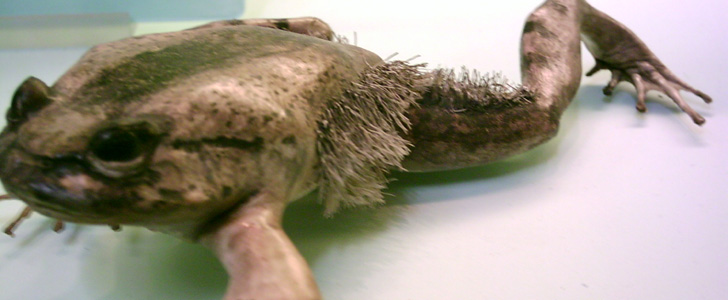 Il existe une espèce de grenouilles qui, lorsqu'elle est attaquée, brise ses propres pattes pour les utiliser comme des griffes !
