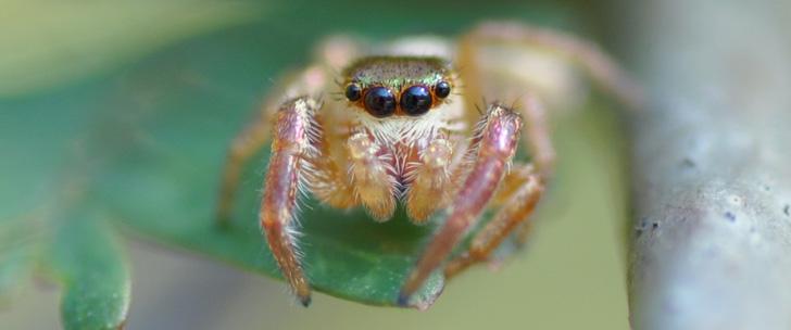 Il existe une araignée herbivore !
