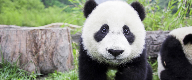 Les pandas passent environ 12 heures par jour à manger du bambou !