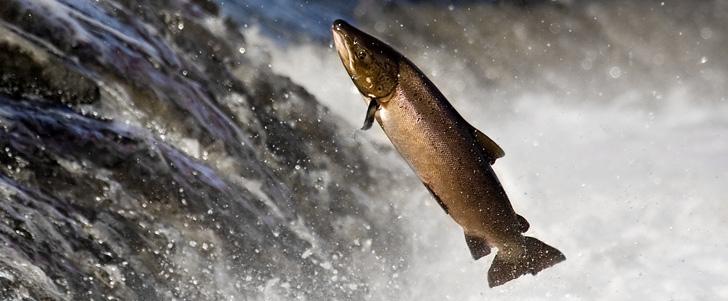 Le sperme des saumons pourrait nous aider à recycler les terres rares !