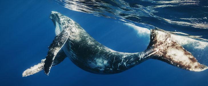La baleine bleue est l'animal qui éjacule le plus avec 20 litres de sperme à chaque éjaculation !