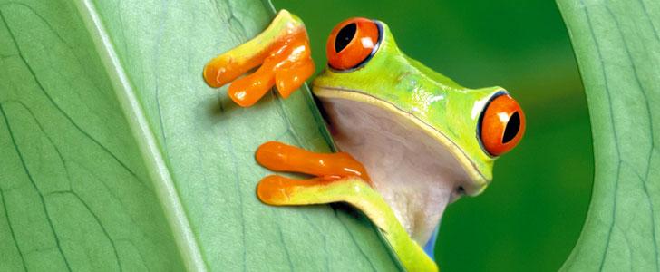 Les grenouilles utilisent leurs yeux pour avaler la nourriture !