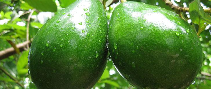 Le mot avocat (fruit) vient du mot ahuacatl qui signifie testicule !