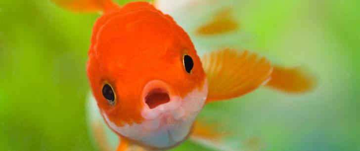 Les poissons rouges ont une mémoire de plusieurs mois !