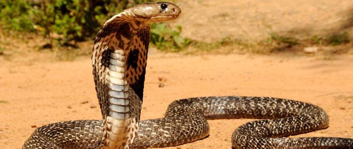 Un cobra mord un cuisinier et le tue 20 minutes après avoir été décapité !