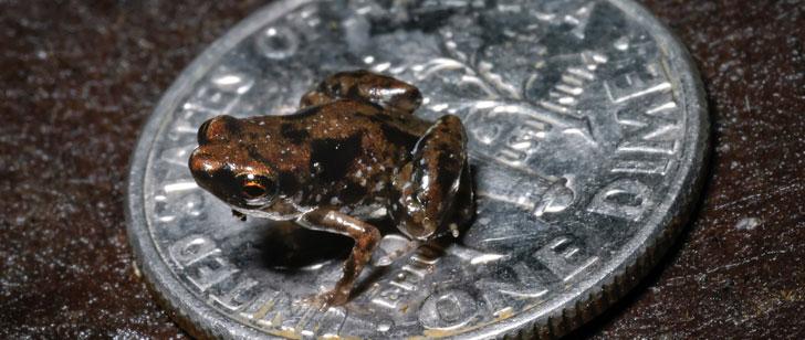 Les plus petites grenouilles au monde sont plus petites qu'un M&M !