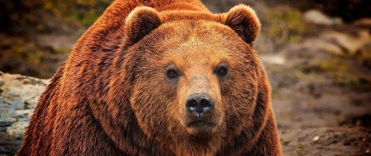Le grizzli a assez de force de morsure pour écraser une boule de bowling !
