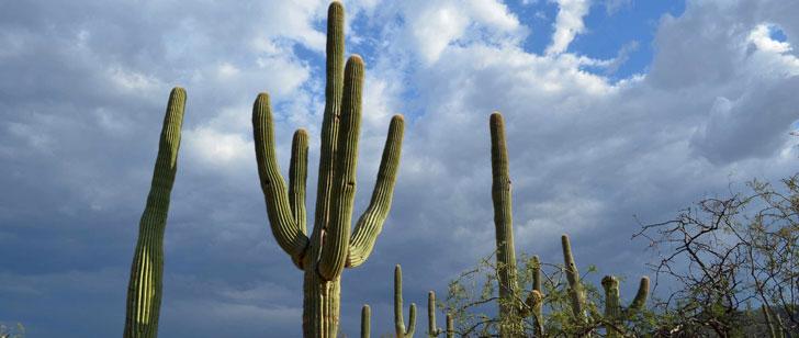 Le cactus Saguaro prend 75 ans pour développer un bras latéral !