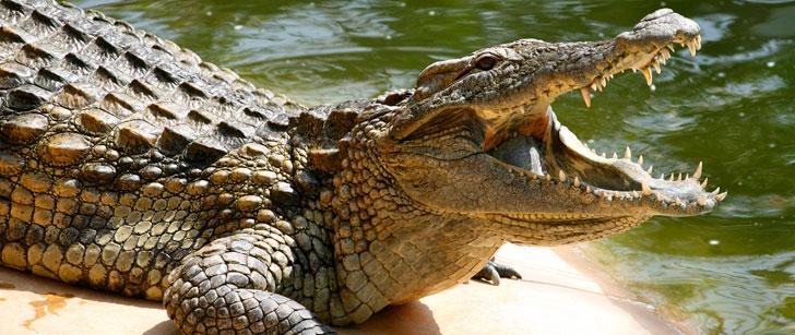 Les crocodiles avalent des pierres pour plonger plus profondément !