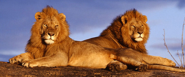 Une fille enlevée en Ethiopie a été sauvée de ses agresseurs par 3 lions !