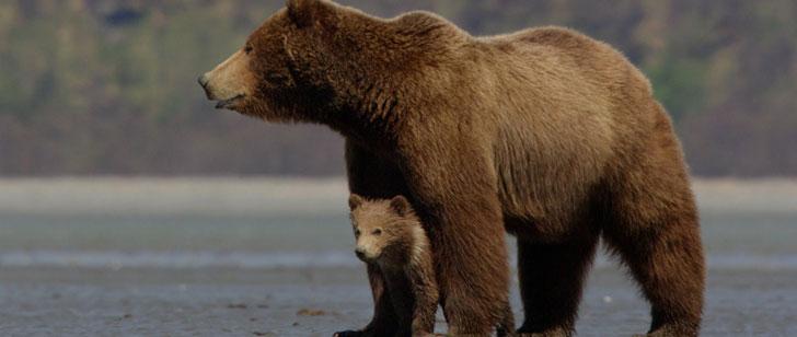 En cas de saignement, les ours peuvent ralentir leur rythme cardiaque pour ralentir la perte de sang !