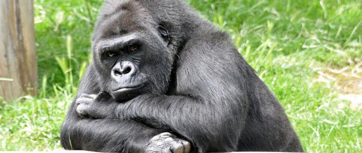 Un enfant est tombé inconscient dans un enclos de gorilles. Un des gorilles l'a protégé des autres !