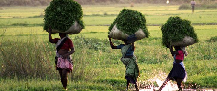 En changeant ses techniques agricoles, l'Inde pourra produire du riz pour 400 millions de personnes additionnelles !