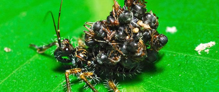 Il y a un insecte qui porte les cadavres de ses victimes comme une armure !