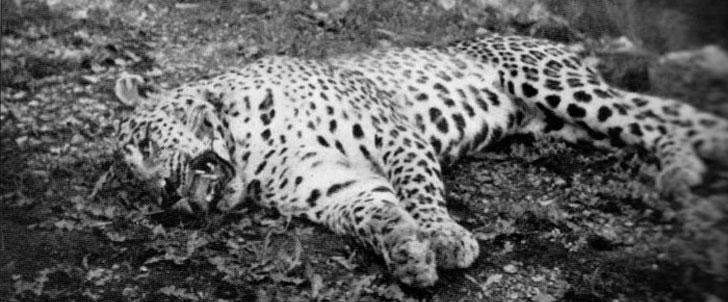 Le saviez-vous ? Le léopard de Panar, le léopard qui a tué et mangé 400 personnes ! Leopard-panar