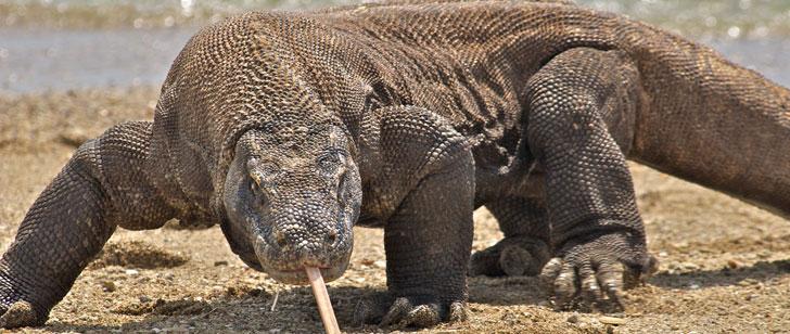 Les dragons de Komodo déterrent les cadavres pour les manger !