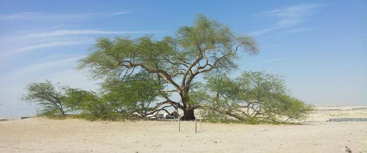 En plein désert du Bahreïn, il y a un seul arbre vieux de 400 ans nommé l'arbre de la vie !