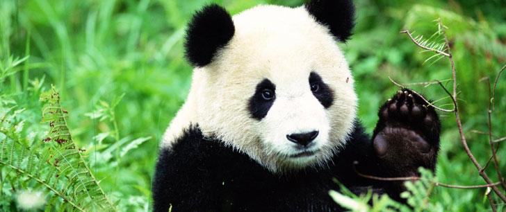 Tous les pandas dans le monde sont loués par la Chine !